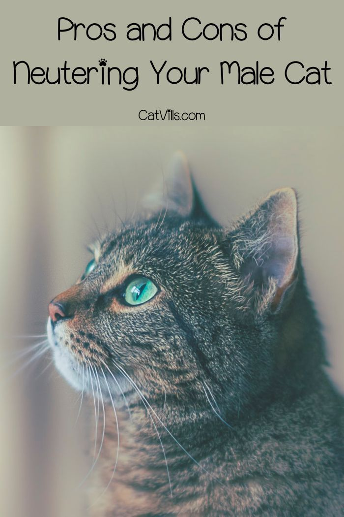 Why Is It So Important To Spay And Neuter Cats Cat Neutering Cats Kitten Care