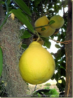 17 Best Images About Abc S Of Rutaceae Citrus On Pinterest Trees Persian And Key Lime