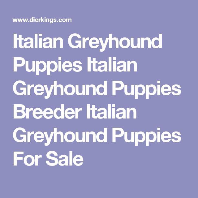 Italian Greyhound Puppies Italian Greyhound Puppies Breeder Italian Greyhound Puppies For Sale