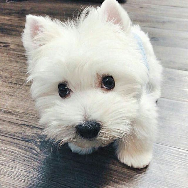 #tbt Check the link in @westiemoments profile and choose your Westie or hoodie! International shipping! To be reposted⏩Start to follow us⏩Choose your best photo⏩Tag us #westiemoments Reposted from: @homie_obama