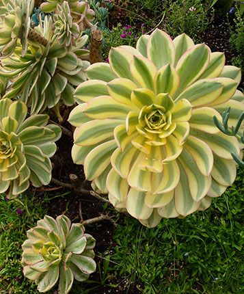 Aeonium 'Sunburst' Specs and Care at Dave's Garden http://davesgarden.com/guides/pf/go/58035/