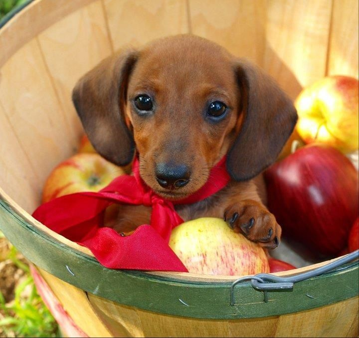 This is the cutest Dachshund!