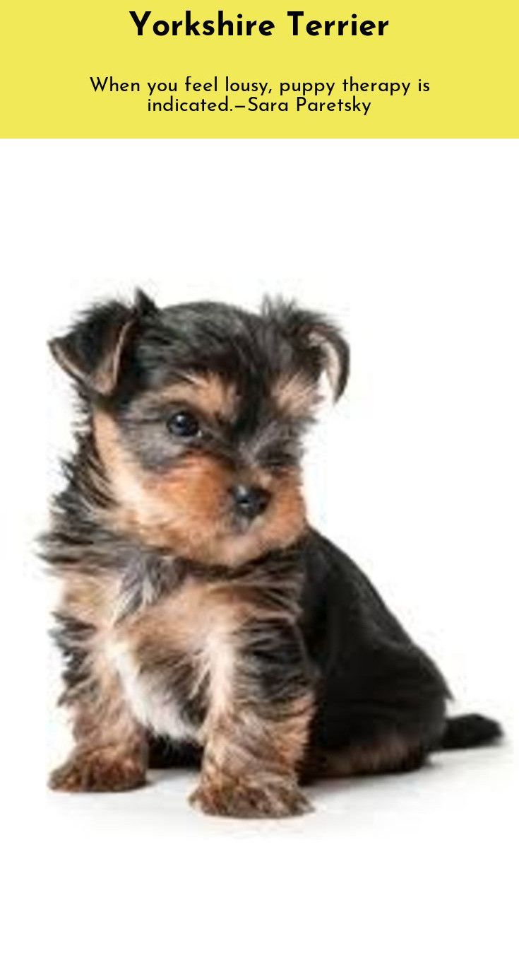 Whoever Said That Diamonds Are A Girl S Best Friend Never Owned A Dog Yorkshire Terrier Yorkshi With Images Yorkshire Terrier Yorkie Terrier Yorkshire Terrier Puppies