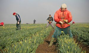 Migrant workers picking daffodils in Linconshire.