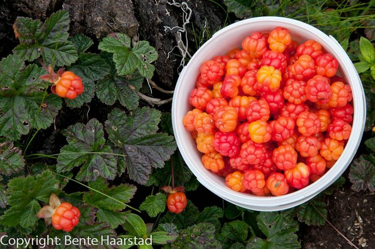 Wild cloud berry picking in Norway.