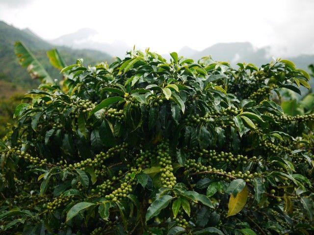 Colombian #Coffee #Cafe #Finca