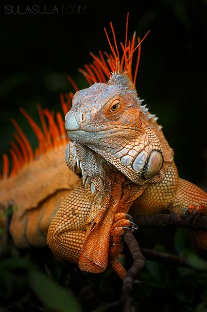 Green Iguana | by Petr Bambousek                                                                                                                                                                                 More