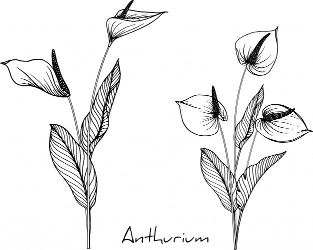 Anthurium Flower Drawings