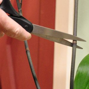 Care for Phalaenopsis orchids after they bloom
