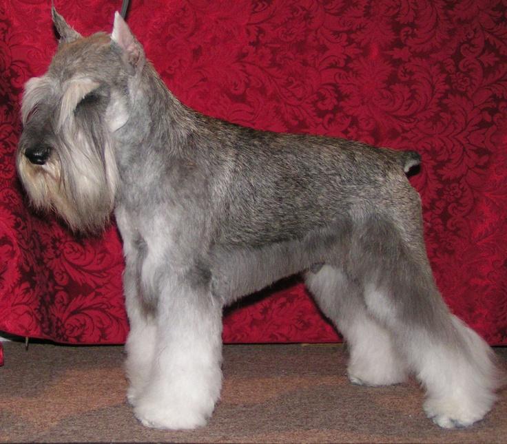 great haircut. Correcto corte de schnauzer