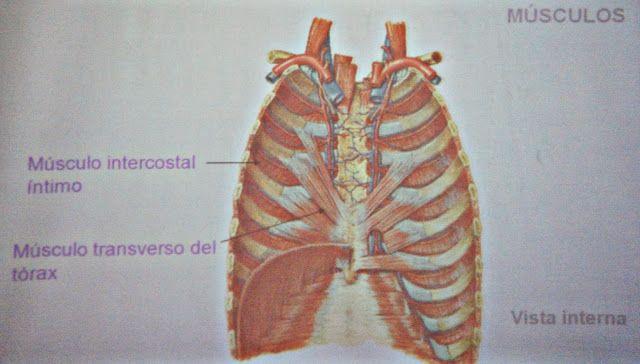 Pared y cavidad torácica. Regiones del tórax - Temas de estudio para la anatomía humana general