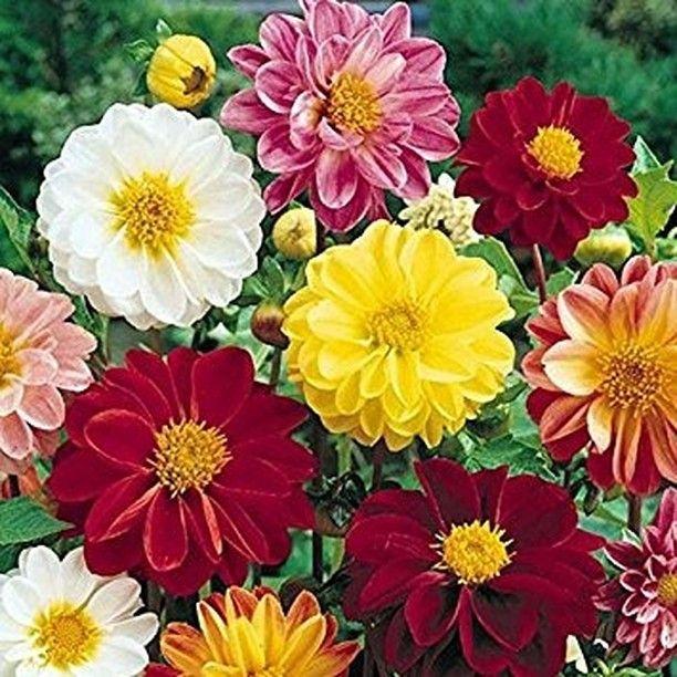 Inspirasi Untuk Berkebun On Instagram Benih Bunga Dahlia Unwins Dwarf Mix 10 Biji Bunga Dahlia Unwins Ini Mem Flower Seeds Dahlia Herbaceous Perennials