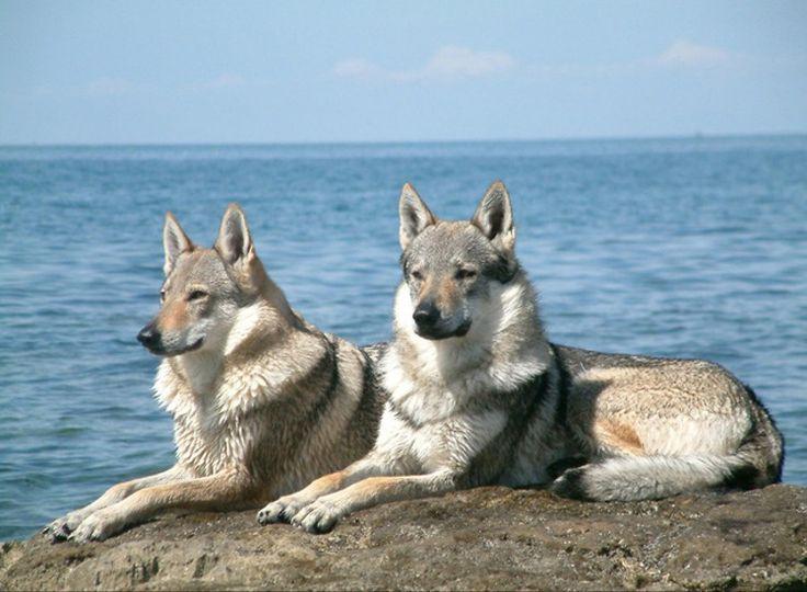 Czechoslovakian Vlcak .Esta raça extremamente nova foi descoberta em 1955, quando os pastores alemães foram criados junto com os lobos.