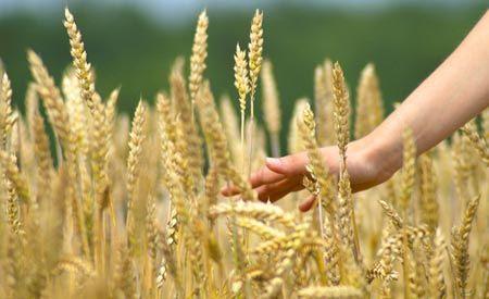 Getreide verhindert Gesundheit