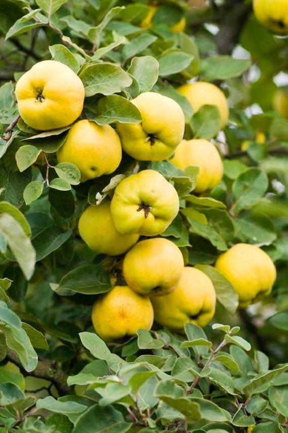 Cydonia Provence Quince Plant 1 Year Old 1 4 Inch Fruit Trees Small Fruit Trees Fruit Garden