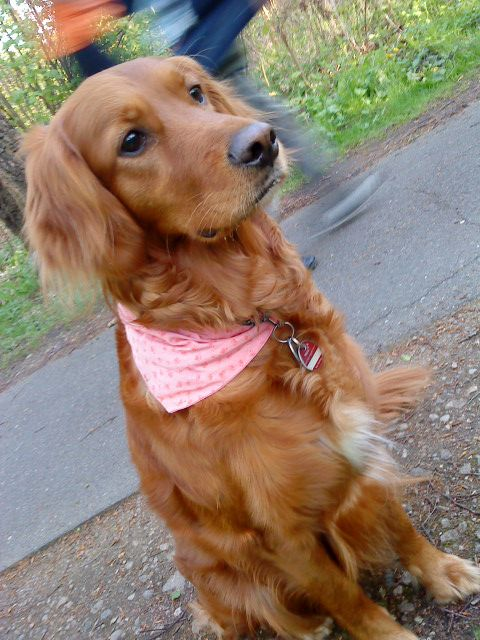 I have found my perfect dog...a Golden Retriever/Irish Setter mix. I'm almost tempted to pre-order a puppy for Spring!