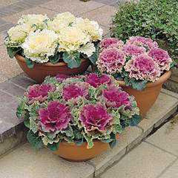 WINTER - Ornamental Cabbage - Northern Lights Mix