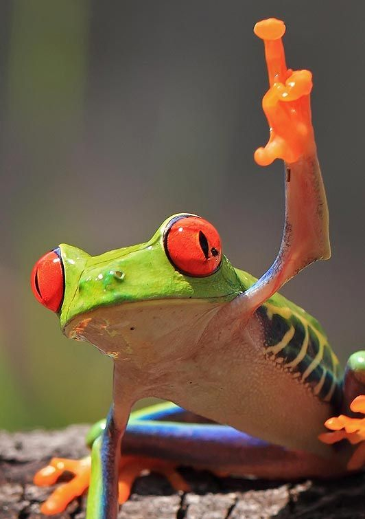 A tree frog appears to flip the bird at photographer