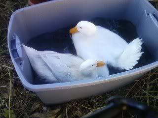 Calling all Pekin duck raisers! Pekin ducks Qualities/