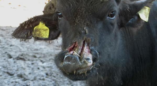 Pare o massacre de machos Bezerros em Buffalo Farms! Exigir melhores condições para os animais! | PetitionHub.org
