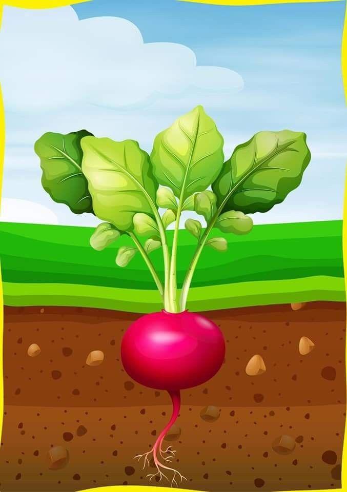 Картинки вершки и корешки овощей
