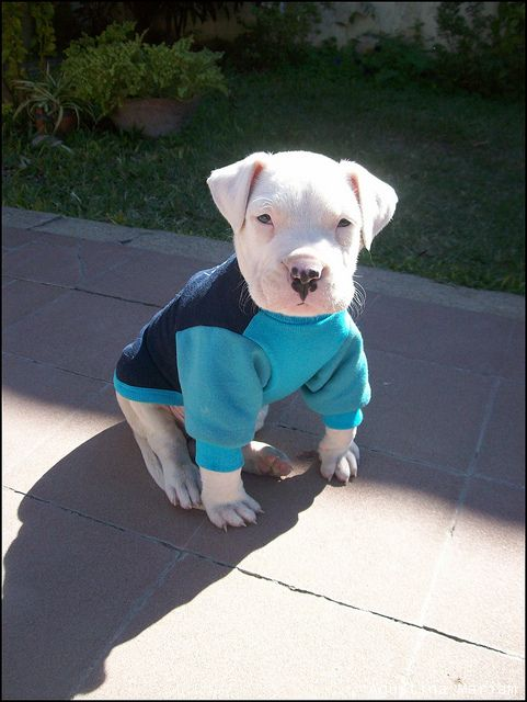 Dogo Argentino... J's dream dog for the boys.