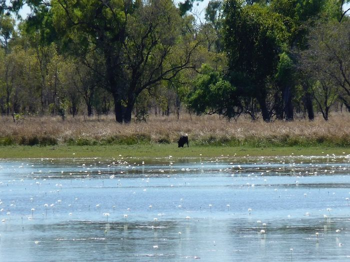 Feral pig across the billabong. Burke Developmental Road Channel Country Queensland