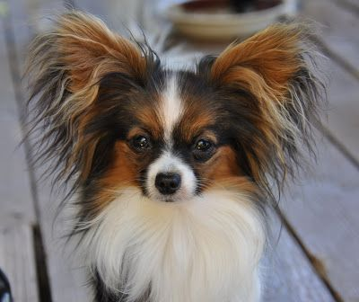 If I can't have a boxer, this is my next choice. Papillon.