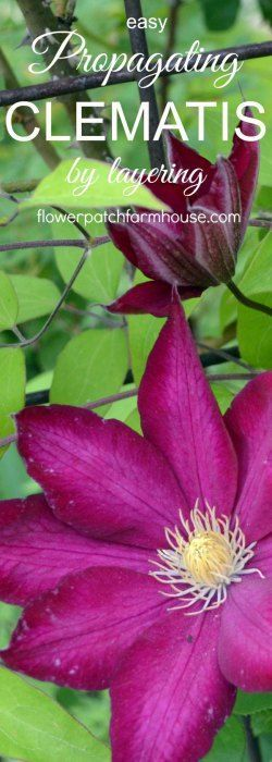 Propagating Clematis by Layering, easy enough for beginner gardeners and faster than cuttings. Get more of what you love for free!