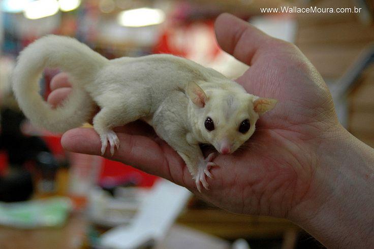Petauro-do-Açúcar Albino - Albine Sugar Glider (Petaurus breviceps)