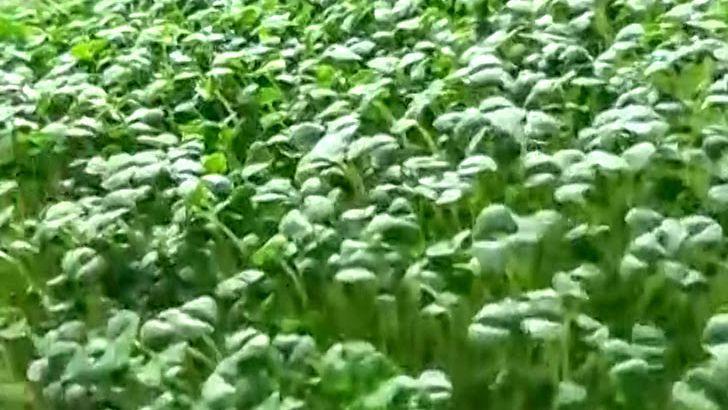 Chia výhonky: zdraví z klíčící misky