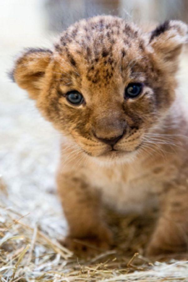 Cute Animals Fights – Baby Lion vs Baby Tiger (VIDEO) – Tier Fotos