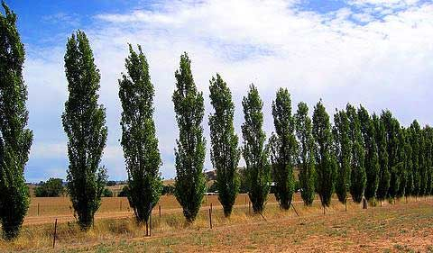 Someday I want to have a row of lombardy poplars running along my eastern property line.