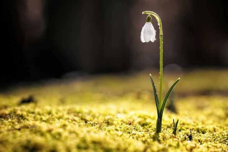 Snowdrop with dew drops on Texel. #texel #sneeuwklokje #dauw #bloem #flower #justinsinner #nature #natuur #wadden