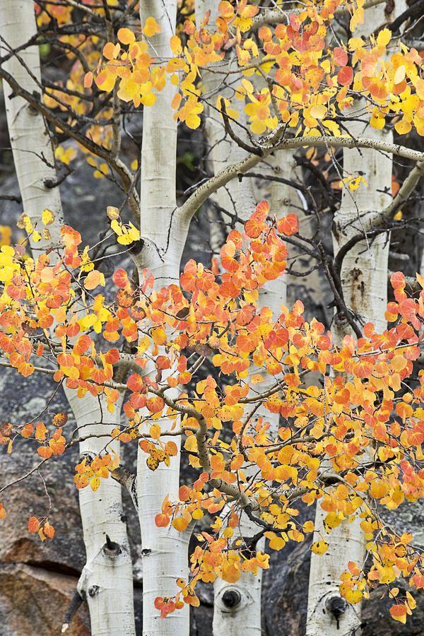 ✮ Autumn Aspens