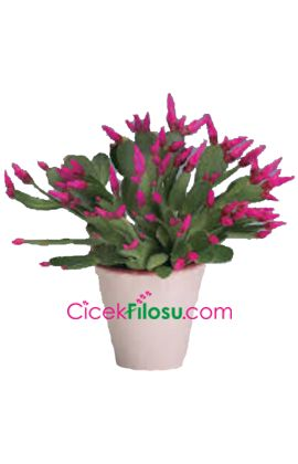 Yılbaşı Çiçeği Bakımı, Yetiştirilmesi, budanması, sulanması, toprak, vitamin, ışık, ve rüzgar faktörlerine karşı direnci.