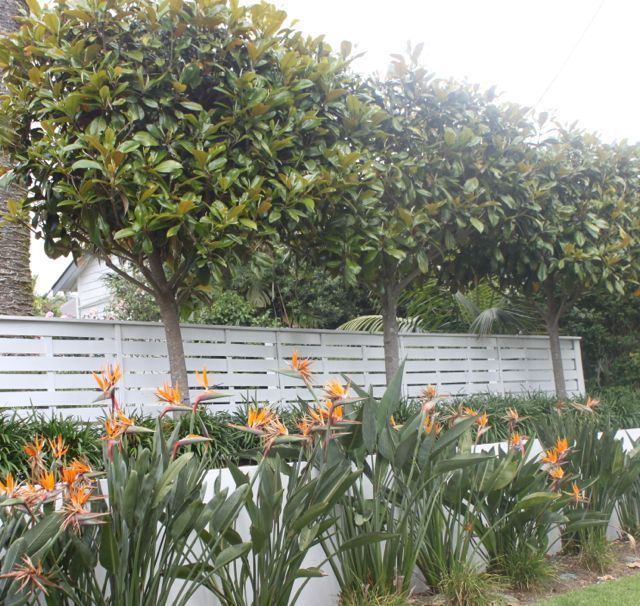 Pleached Magnolias Auckland New Zealand