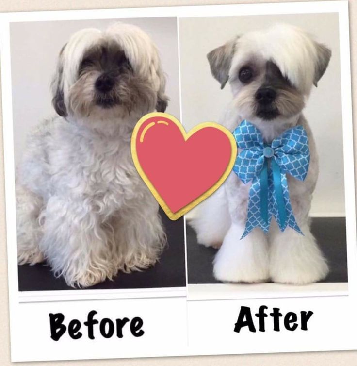 dog grooming styles haircuts 186 best images about quot before quot amp quot after quot grooming 2670 | 9a61c2b05cd596c5dee09257a4ef47f6