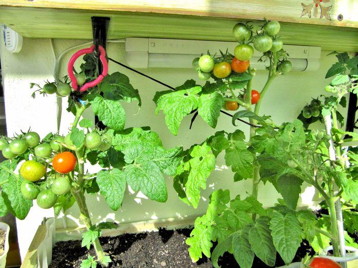А это сорт ГОРШЕЧНЫЙ, помидорки мелкие, но очень много.  http://www.liveinternet.ru/users/ma-musik/blog#post395179991