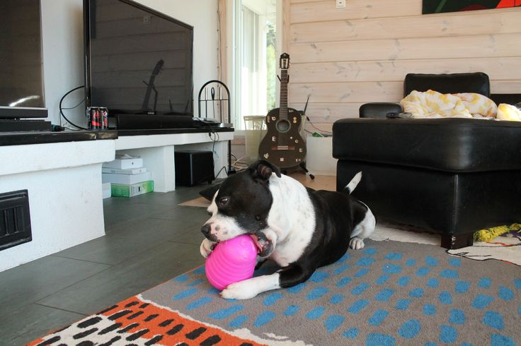 When staffy plays with the toy which should activate.. :D #staffy #staffordshirenbullterrier #play #dog