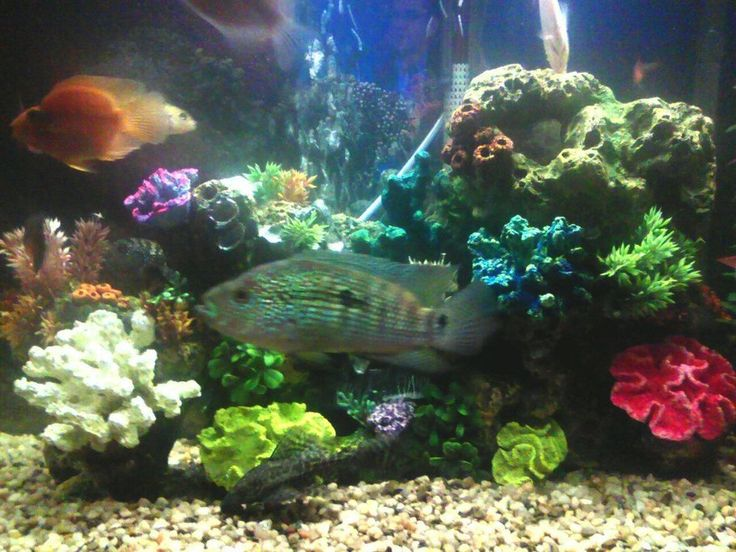 86 best images about animals on pinterest cichlids for Black algae in fish tank