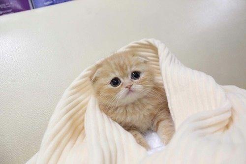 Scottish fold kitten. I need this
