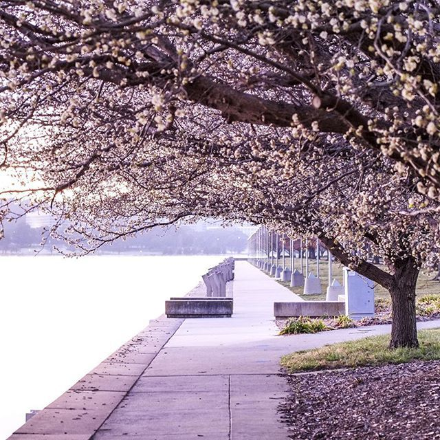 Morning mist and spring blossoms. Love Canberra for it's contrasts