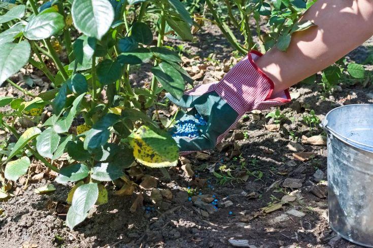 Mineralische Dünger wie Blaukorn eignen sich, wenn Sie Ihre Rose schnell mit Nährstoffen versorgen wollen