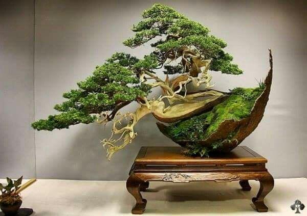 109 besten a a lar bonsai bonsai bilder auf pinterest for Bonsai hydrokultur
