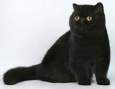 Black Exotic Cat. I want one!