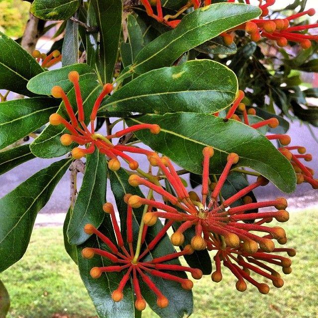 Firewheel Tree - Stenocarpus sinuatus - also ready to break out flowering #inmygarden #inspiration #artistgarden #artist #wildflowers #firewheeltree #Stenocarpussinuatus #instagardens #iphoneonly #instaphoto #iphoneography