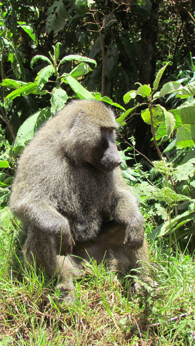 The Intelligent Baboons
