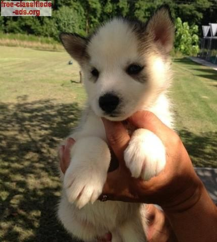 free-classifieds-ads.org - Charming Siberian Husky Puppies Ready for new homes