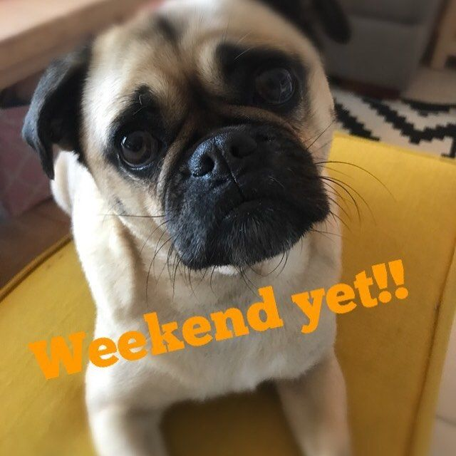 Happy Friday... is the weekend there yet? . . . #pughumor #fridaylunch #happyfriday #pugs #pugsofinstagram #pug #mommyblogger #instapugs #instahumor #fridayfunday #lunch #melbourne #humor #lol #funny #dogslover #pugslife #blogger #foodie #weekendfun